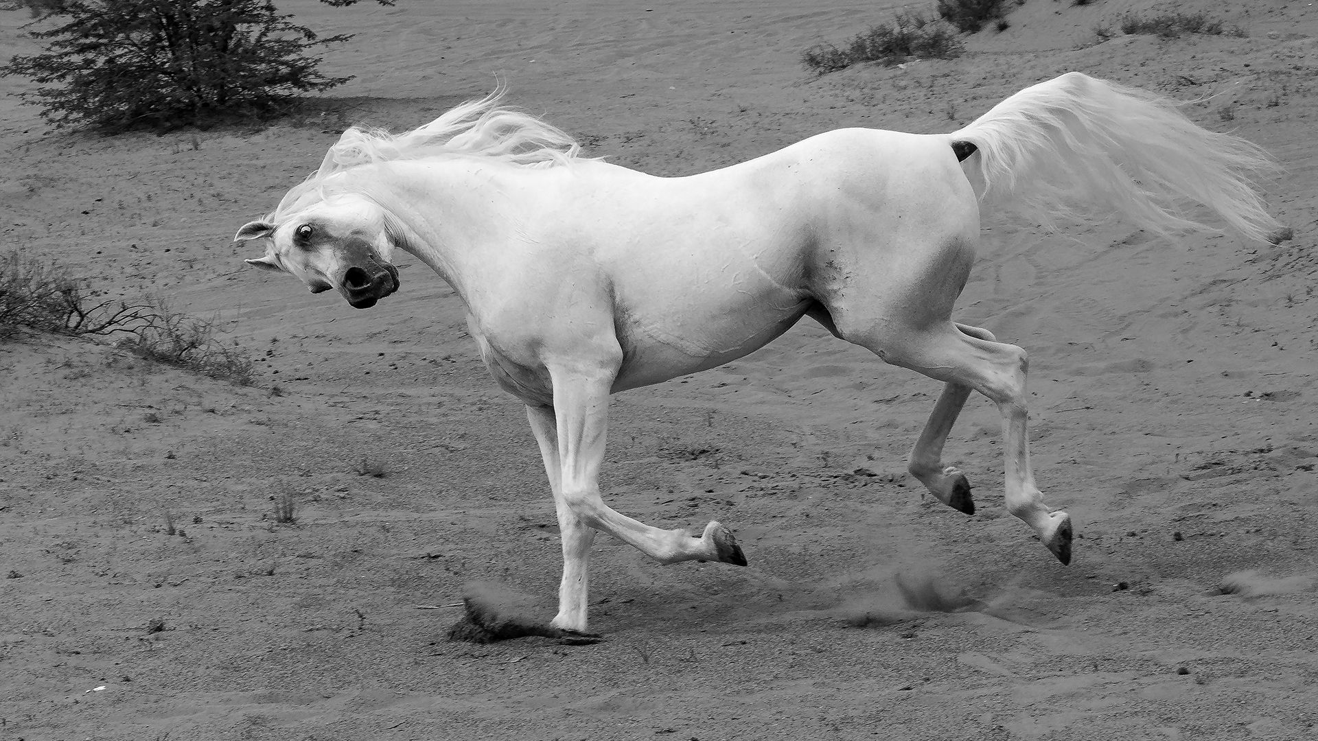 ARABIAN HORSE IN A DESERT 02